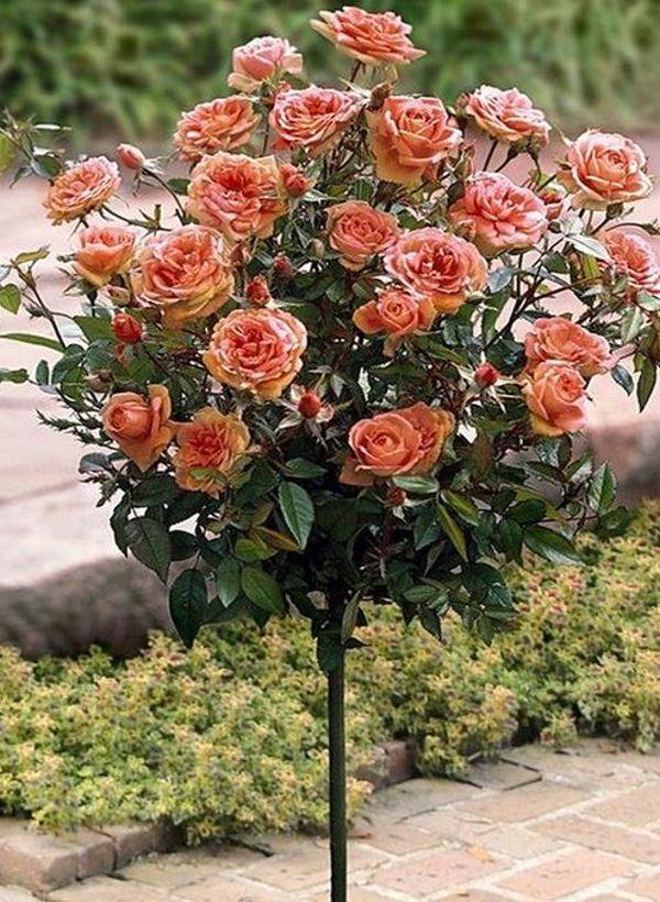 9 Nagy fajta hegymászó rózsa